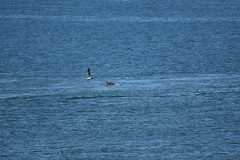Paddle boarder and dolphin in Aberdeen