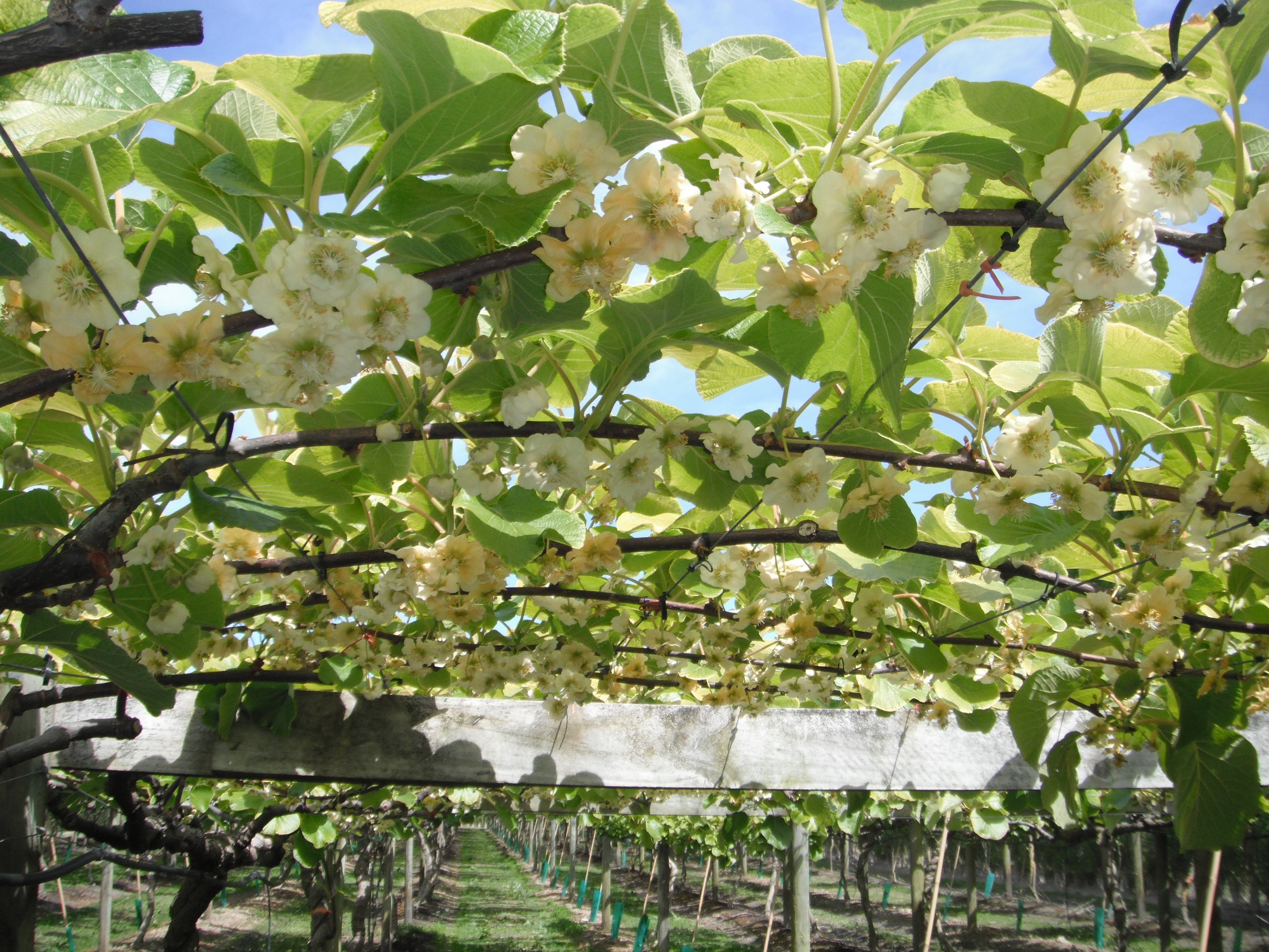 Hort16a Kiwifruit vines at flowering. Photo taken on August 24, 2010.