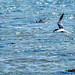 Common Tern out fishing