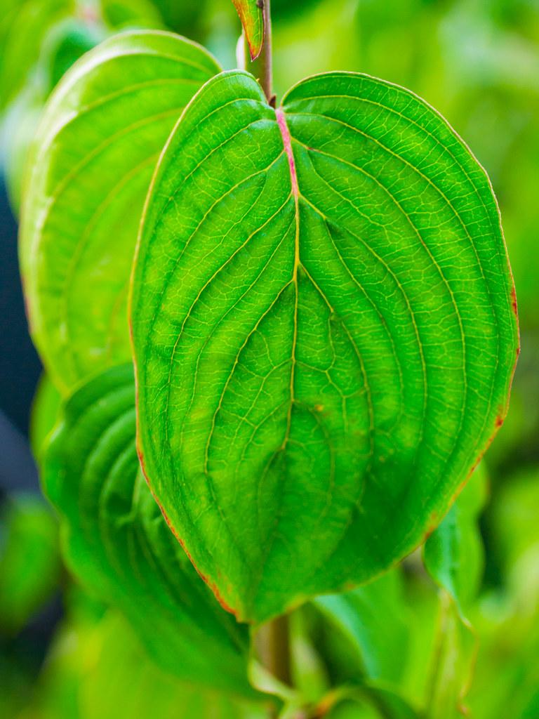 A dogwood leaf