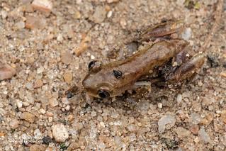 Frog - DSC_2170