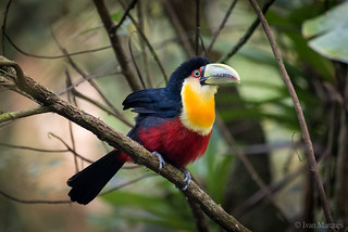 Tucano-de-bico-verde (Ramphastos dicolorus)