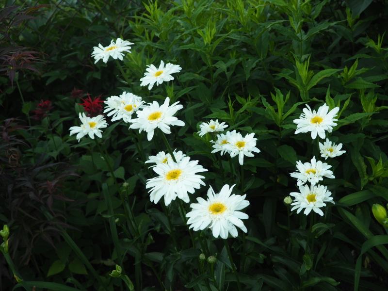 Leucanthemum vivaces de courte durée? 28323341257_4a5eb861a5_o