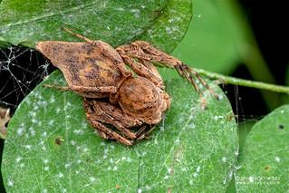 Lynx spider (Hamataliwa sp.) - DSC_5308