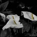2018 06 22 - arum lilies 1c