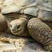 Aldabra Tortoise by Eric Tischler