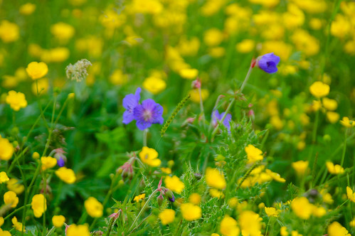 Purple, yellow: meadow cranesbill in field of buttercups