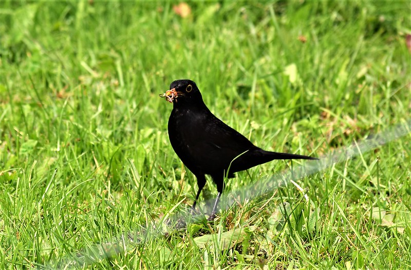 Blackbird 16.06 (1)