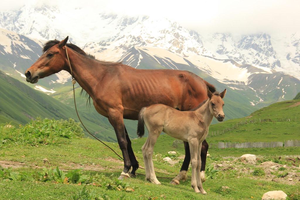 Horses, Ushguli