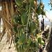 green cactus fruit por ikarusmedia