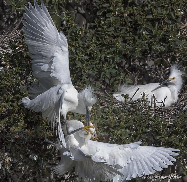 Snowy Egret Tussle