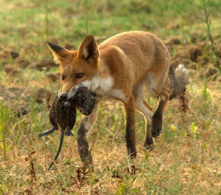 Red fox with nutria, Tivoli-Manzolino oasis, Italy. Photo taken on August 15, 2014.