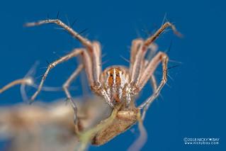 Lynx spider (Oxyopes cf. jacksoni) - DSC_5900