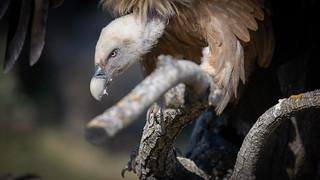 Vale gier / Griffon Vulture / Gyps fulvus