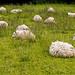 Saddleworth Sheep Chilling