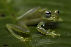Cute Eyes Glass Frog-Espadarana callistoma