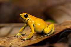 Golden Poison Frog (Phyllobates terriblis)