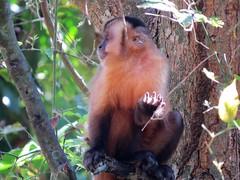 macaco prego, Brasil