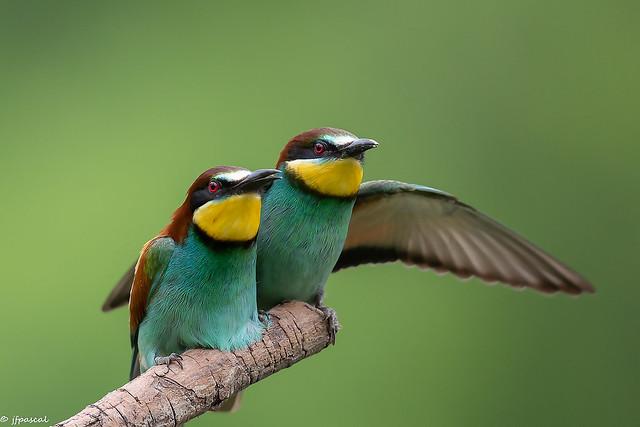 Guêpier d'Europe (Merops apiaster) - European Bee-eater