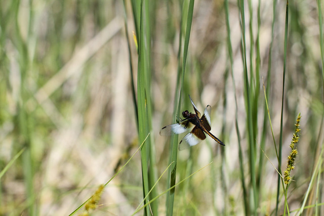 Dragon Fly in Mendon Ponds, NY