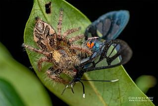 Jumping spider (Hyllus sp.) - DSC_3687