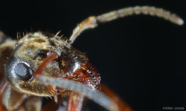 Ant extreme macro