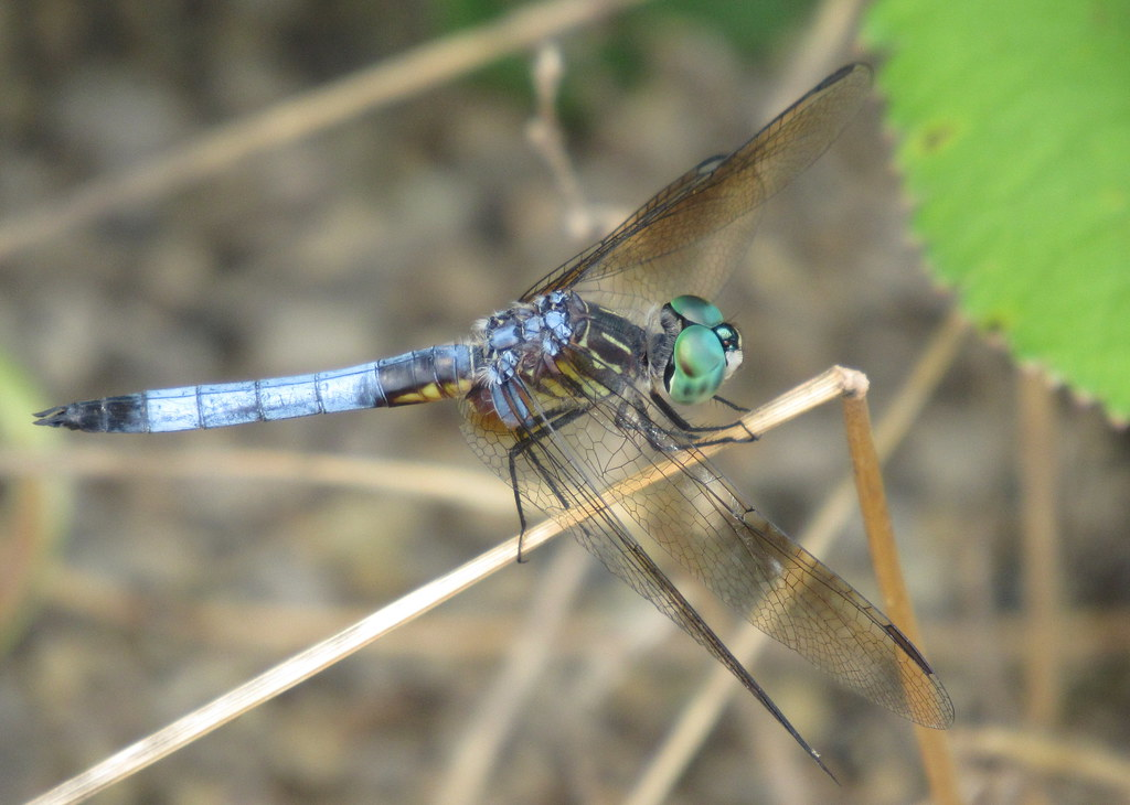 Blue Dasher?