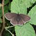 Aphantopus hyperantus, 2018-07-11
