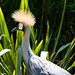 Crowned Crane at Colchester Zoo