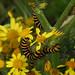 Caterpillars:  10.7.18.
