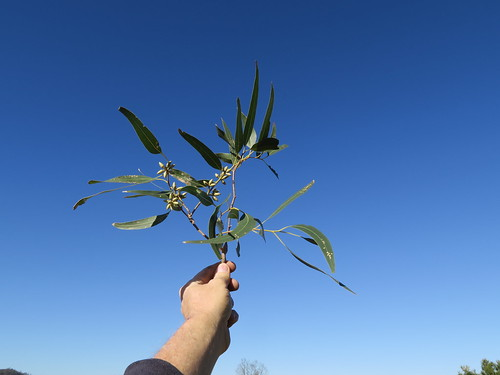 Eucalyptus glaucina bud NC2