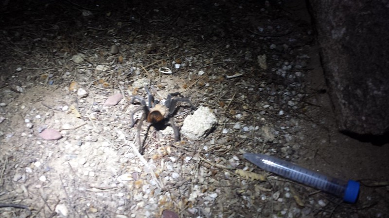Arizona blonde tarantula