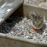 Baby Tern Chick