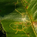 Fly - Chromatomyia scolopendri