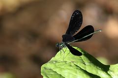 Dragonfly....6O3A7818A
