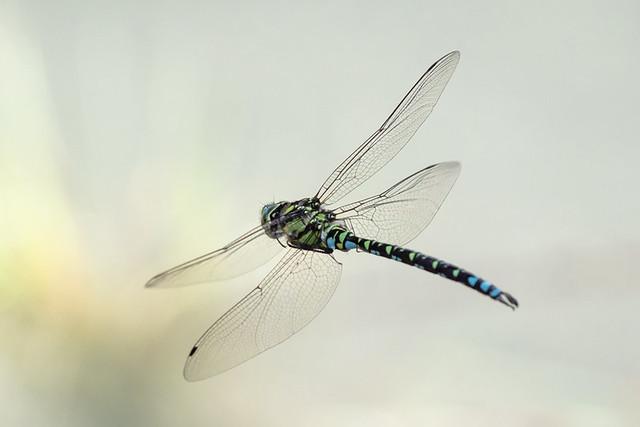 Grüne Mosaikjungfer (Aeshna viridis)