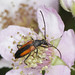 Black-striped Longhorn Beetle - Stenurella melanura (f)