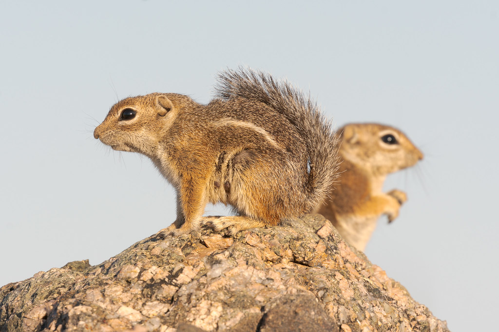 Two Harris's antelope squirrels look out from their rocky perch along the Vaquero Trail in the Brown's Ranch section of McDowell Sonoran Preserve in Scottsdale, Arizona