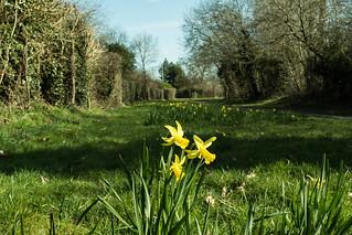 20180326-06_Daffodils - Cawston Rugby