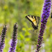 Swallowtails feed on Blazing Star.