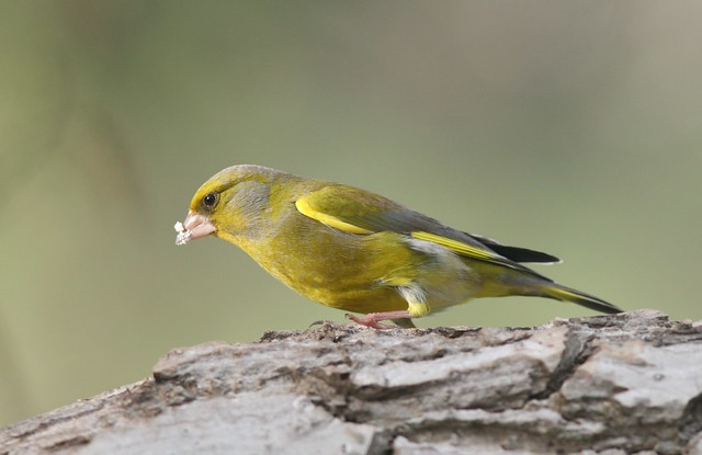 Carduelis chloris, le verdier ou european greenfinch, verderon comun, grünfink, grönfink, zöldike, verdone europeo.