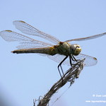 Insectos en las lagunas de La Guardia (Toledo)