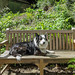 Dog (Jesse) - Canis familiaris