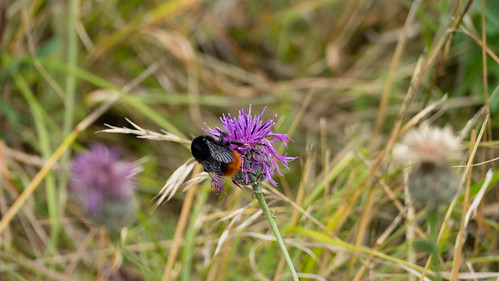 Red-tailed bumblebee on greater knapweed