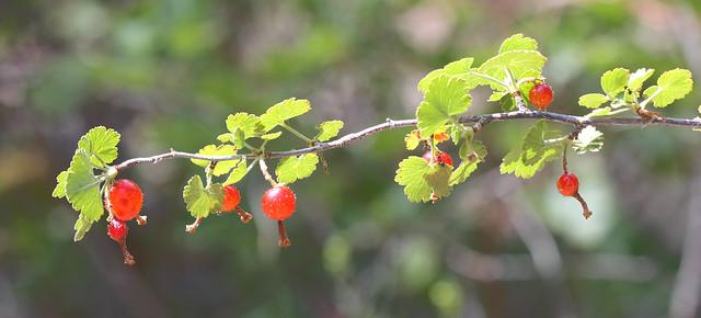 Gooseberries, Canon EOS REBEL T3I, Canon EF 100mm f/2.8 Macro USM