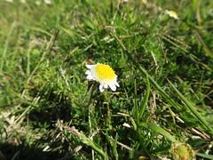 Cotula turbinata flowerhead NC10