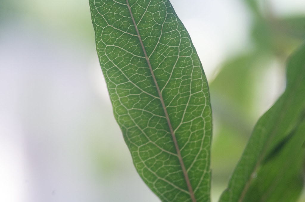 Passiflora, Blatt