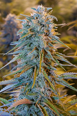 blue-dream-humboldt-seeds