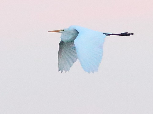 Great Egret at dawn 02-20180625
