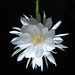 A Night Blooming Cereus